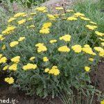 خواص درمانی گیاه بومادران